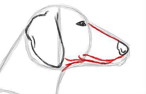 kako pripraviti dachshund v svinčniku