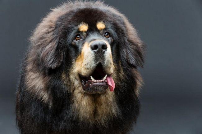 Najdražja pasma psov: pregled pasem, opis in značilnosti