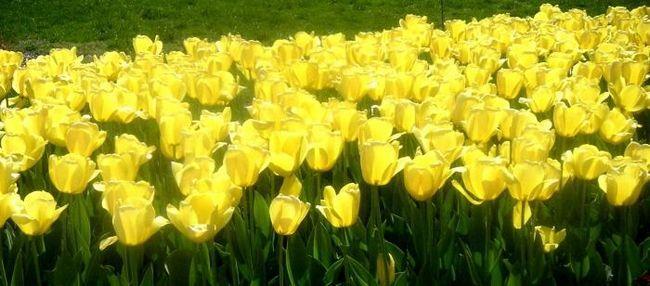 Rumeni tulipani so simboli sreče